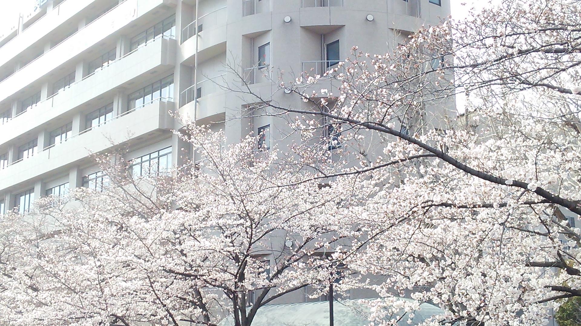 桜のライトアップ一般開放を4月6日(木)まで延長します。